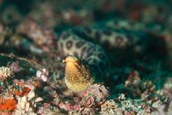 BD-110319-Puerto-Galera-4057-Ophichthus-polyophthalmus.-Bleeker.-1864-[Many-eyed-snake-eel].jpg